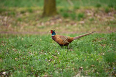 Ringneck Pheasant Phasianus colchicus. In the forest Stock Photo