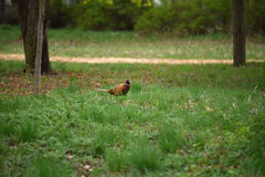 Ringneck Pheasant Phasianus colchicus. In the forest Royalty Free Stock Photos