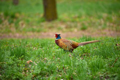 Ringneck Pheasant Phasianus colchicus. In the forest Royalty Free Stock Images