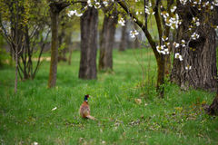 Ringneck Pheasant Phasianus colchicus. In the forest Stock Image