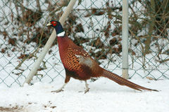 Ringneck Pheasant walking on the snow in winter Royalty Free Stock Photo