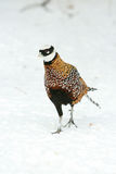 Ringneck Pheasant walking on the snow in winter Royalty Free Stock Images