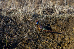 Ringneck pheasant at a wildlife refuge stock photography