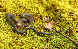Ringneck Snake Royalty Free Stock Photography