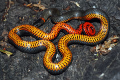 Ringneck snake shows its belly as a threat display royalty free stock images