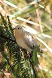 Ringneckduif (Streptopelia-roseogrisea) Stock Foto's