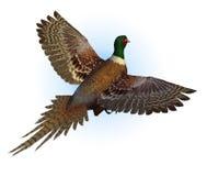 ringnecked фазан летания Стоковая Фотография