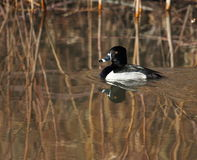A Ringnecked duck swimming. Ringnecked duck swimming in a wetland in New Mexico Stock Image