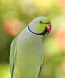 ringnecked parakeet стоковое изображение