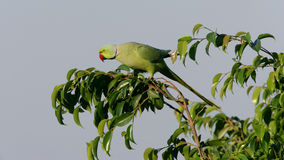 Ringnecked Parakeet Royalty Free Stock Photography
