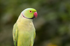 Ringnecked Parakeet Stock Photos