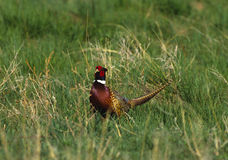 Ringnecked Pheasant Rooster Royalty Free Stock Photography