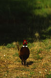 Ringnecked Pheasant Rooster Stock Photo
