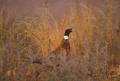 Ringnecked Pheasant Rooster. A chinese ringnecked pheasant rooster partially hidden in tall weeds stock photos