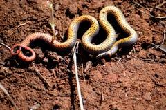 Ringnecked snake. Ring neck snake Royalty Free Stock Photo