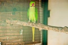 Ringneckedparkiet in de dierentuin royalty-vrije stock foto's