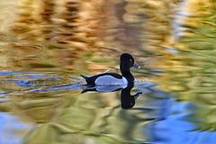 Ringowa necked kaczka paddles z odbiciem w nasłonecznionej wodzie Obraz Royalty Free