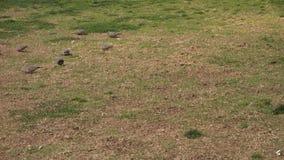 Ringowe gołąbki zbiory