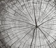 Ringowy drzewo Zdjęcie Royalty Free