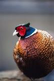 Ringowy necked bażanta kogut Zdjęcia Royalty Free