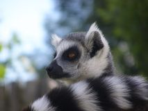 Ringowy ogoniasty lemur Zdjęcia Stock