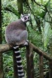 Ringowy Ogoniasty lemur 1 Obrazy Stock