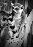 Ringowy ogoniasty lemur Obraz Royalty Free