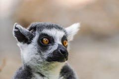 Ringowy ogoniasty lemur głowy portret fotografia royalty free