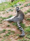 Ringowy ogoniasty lemur Maroko fotografia stock