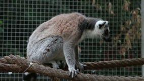Ringowy ogoniasty lemur patrzeje wokoło siedzi na arkanie w zoo zbiory wideo