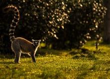 Ringowy ogoniasty lemur w ranku słońcu, Madagascar Obraz Royalty Free