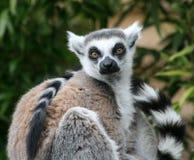 Ringowy Ogoniasty lemur w siedzącej pozyci Zdjęcia Royalty Free