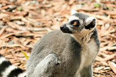 Ringowy Ogoniasty Ogoniasty lemura lemur Catta, zagrażający w dzikim Zdjęcie Stock