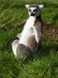 Ringowy ogonu lemur fotografia royalty free