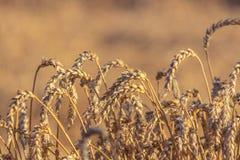 Ringraziamento delle orecchie del grano Fotografie Stock