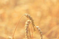 Ringraziamento delle orecchie del grano Immagini Stock Libere da Diritti