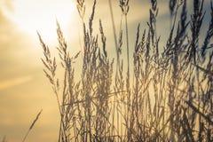 Ringraziamento delle orecchie del grano Immagine Stock