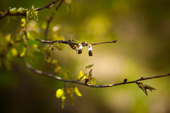 Rings on a branch. Two Wedding Rings on a branch spring Royalty Free Stock Photography