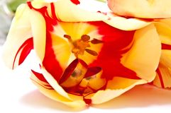 Rings In Tulip Stock Image