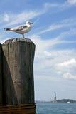 Ringschnabelmöwe u. x28; Larus delawarensis& x29; auf Hintergrund von Liberty Island New York Lizenzfreie Stockbilder
