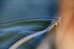 Ringslang in water olieverf die van foto trekken stock fotografie