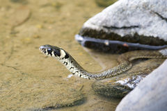 Ringsnake (Natrix Natrix) Stock Photo