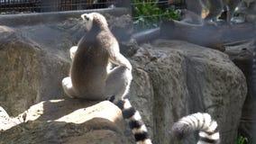 Ringstaartmaki's Lemur catta die in kooien in de openlucht worden gevoederd stock video