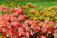 Ringt bloeiende rododendron en groen gazon stock afbeelding