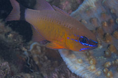 Ringtail cardinal fish, close up image Stock Image