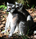Ringtail Lemur. Two Sitting Ringtail Lemurs - South Africa Royalty Free Stock Photos