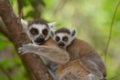 Ringtail Lemur. Wild Ringtail Lemur in Madagascar Stock Photography