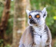 Ringtail Lemur Royalty Free Stock Image
