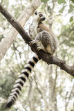 Ringtail Lemur Royalty Free Stock Photography