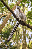 Ringtail Lemur. At primate rescue center near Plettenberg Bay, South Africa Stock Image